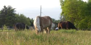 chevaux au pre touraine cheval