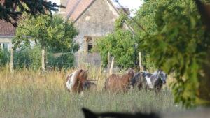 poneys touraine cheval